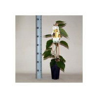 Arbres et arbustes fruitiers - actinidia chinensis hayward 2 ltr