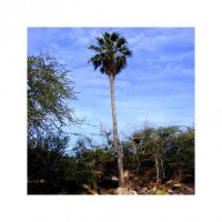Washingtonia robusta (palmier éventail) 65l 200/220cm
