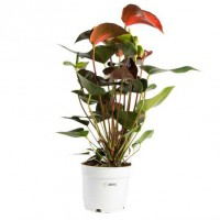 Anthurium andreanum rainbow champion pot de 3 litres – 40/60 cm