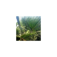 Palmier éventail (washingtonia) - promo -40% : washingtonia robusta (palmier éventail)