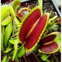 Kit dionaea 'giant big mouth' pot de 1 litre - 0/20 cm
