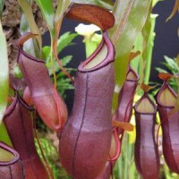 Kit nepenthes 'rafflesiana' pot de 1 litre - 0/80 cm