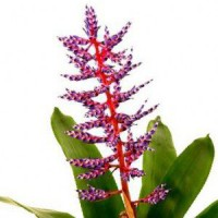 Aechmea hybridum cv. royal blue rain pot de 2 litres - 50/60 cm