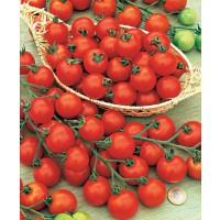 Tomate 'rosso cremlin' f1 (type sweet 100)