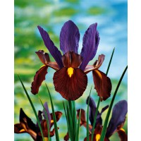 Collection de 40 iris de hollande