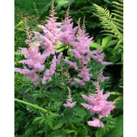 3 astilbes 'nouvelle vague'