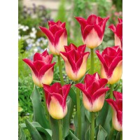 Collection 3x10 tulipes 'triomphe'