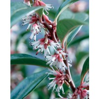 Sarcococca 'winter gem'