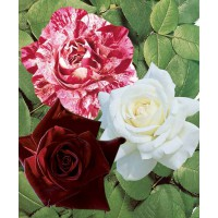 Collection 3 rosiers buissons ('black baccara, candy stripe, helga)