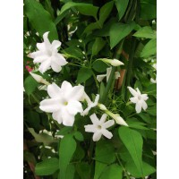 Jasmin officinale affinis