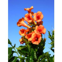 Campsis kudian indian summer®