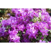 Rhododendron nain blue silver
