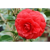 Camellia red red rose