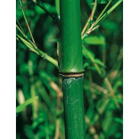 Bambou phyllostachys bissetii 2x2l